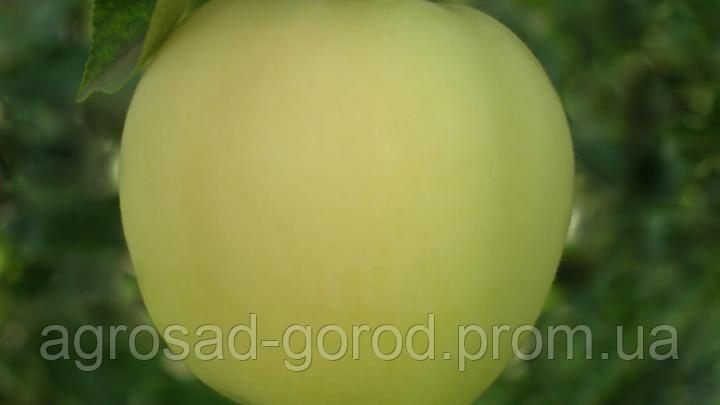 Саженцы яблони Сильвия, фото 2