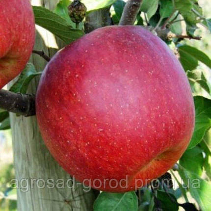Саженцы яблони Ятака, фото 2