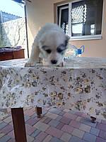 Продам щенков Алабаев