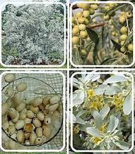 Маслинка вузьколиста(оливка)