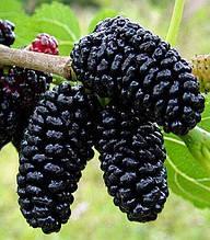 Шовковиця чорна