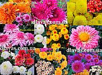 Хризантема черенки корейская смесь (15 штук)