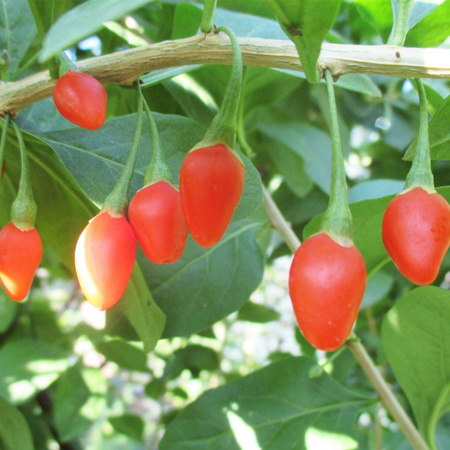 Саженцы годжи сорт Jardin Q1 (быстро плодный), пакет 3.5 л