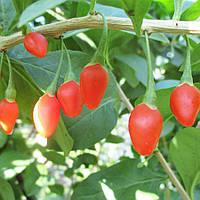 Саженцы годжи сорт Jardin Q1 (быстро плодный), пакет 3.5 л, фото 1