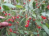 Саженцы годжи сорт Jardin Q1 (быстро плодный), пакет 3.5 л, фото 3