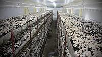 Большой брикет засеянный Грибницей Белого Шампиньона  ( Набор для выращивания на дому)