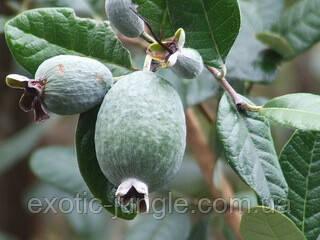 Фейхоя (Acca sellowiana) 60-70 см. Комнатная, фото 1