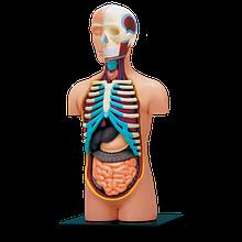 Об'ємна анатомічна модель Торс людини