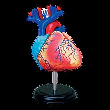 Об'ємна анатомічна модель Серце людини