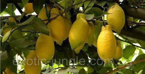 Лимон Лунарио (Citrus Limon Lunario) до 10 см. Комнатный