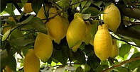 Лимон Лунарио (Citrus Limon Lunario) до 10 см. Комнатный, фото 1