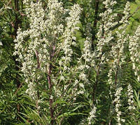 Полынь обыкновенная(чернобыльник) трава сушеная фасовка от 100 грамм.