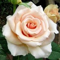 Саженцы роз Роза чайно-гибридная  Эспиранса НАЛИЧИЕ(1 шт)