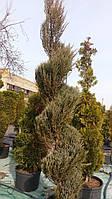 Можжевельник скальный 'Скайрокет'/ Juniperus scopulorum 'Skyrocket' СПИРАЛЬ