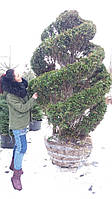 Туя западная Ауреоспиката/ Thuja occidentalis Aureospicata СПИРАЛЬ, фото 1