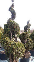 Туя западная Ауреоспиката/ Thuja occidentalis Aureospicata СПИРАЛЬ
