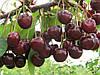 Саженцы вишни Игрушка (средняя)