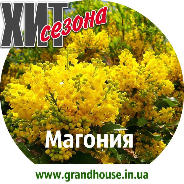 Магония Жёлтая / Саженцы / Премиум Качество