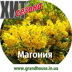 Магонія Жовта / Саджанці / Преміум Якість