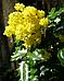 Магония Жёлтая / Саженцы / Премиум Качество, фото 4