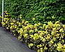 Магония Жёлтая / Саженцы / Премиум Качество, фото 10