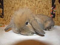 Карликовых вислоухих кролик