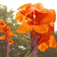 Луковицы Канна Оранж Бьюти (Orange Beauty) (10шт) 1шт
