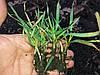 Гумат Калія Натрія з мікроелементами на Зернові. Листкове внесення Гумата Калія на пшеницю ячмень просо овес. Норма внесення 0,6-1,0л/га.
