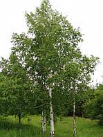 Берёза бородавчатая многоствольная Betula pendula