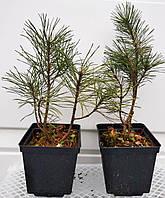 Сосна горная Мугус С2 (Pinus mugo Mughus)
