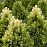 Ялина канадська Дейзі Уайт С1,5 ( Picea glauca Daisy's White ), фото 4