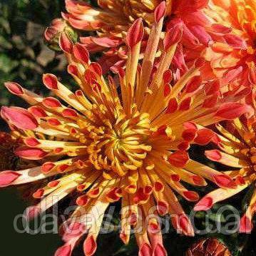 Корейская хризантема Гранатовый браслет
