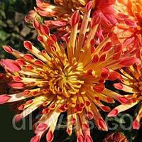 Корейская хризантема Гранатовый браслет, фото 1