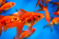 Аквариумная рыба Вуалехвост