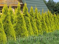 Туя западная Голден Смарагд или Thuja occidentalis 'Golden Smaragd'