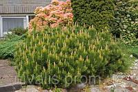 Декоративные растения в сад или для дома