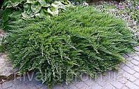 "Можжевельник казацкий ""Taмарисцифолия"" (Juniperus sabina Tamariscifolia)"