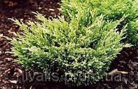 Можжевельник средний  ( Juniperus media )