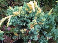 Можжевельник чешуйчатый 'Golden Flame' (Juniperus squamata 'Golden Flame')