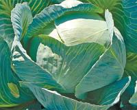 Семена капусты Лексикон F1, 2500 семян