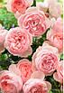 Гидролат Розы из сухих лепестков 100мл, фото 2