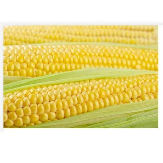 Насіння кукурудзи Тусон (Тайсон) F1 (100 000 сем.) Syngenta