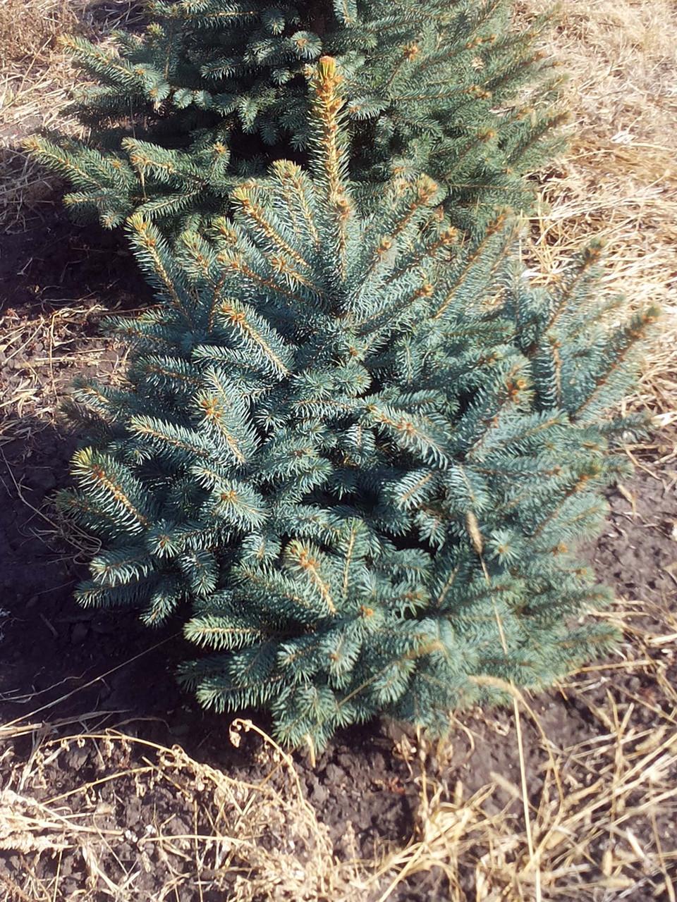 Ель колючая 'Glauca Extra' в контейнере,.Picea pungens 'Glauca Extra'. Высота 1-1,2 метр.