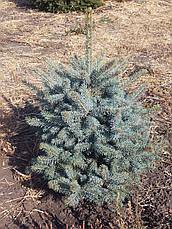 Ель колючая 'Glauca Extra' в контейнере,.Picea pungens 'Glauca Extra'. Высота 1-1,2 метр., фото 3