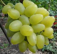 Саджанці винограду БОЖЕНА раннього терміну дозрівання