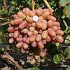 Саженцы винограда ПРЕОБРАЖЕНИЕ раннего срока созревания