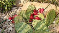 Семена опунции, фото 1