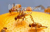 На Київщині знову затримано вантаж цитрусових, заражених карантинним шкідником