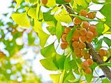 Гинкго билоба семена 10 шт (гинко, гинго) для саженцев Ginkgo biloba + инструкции + подарок, фото 3