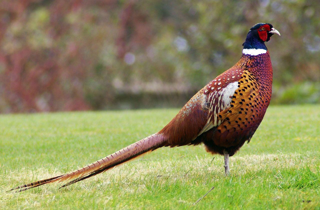 Картинки по запросу фазан
